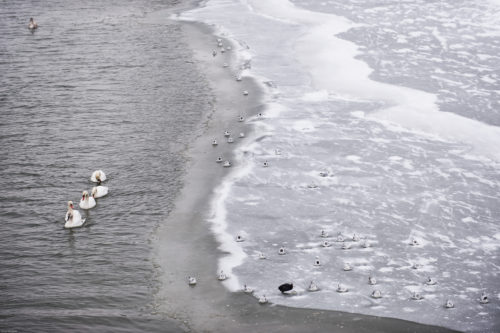 Swans and ducks are seen in a partially frozen part of Vistula River in Krakow.